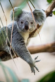 Koala on a tree with bush — Foto Stock
