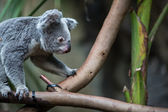 Koala on a tree with bush — Foto de Stock