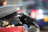 Raven feeding on rubbish — Stock Photo