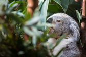 Koala on a tree — Foto de Stock