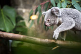 Koala on a tree — Foto Stock