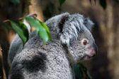 Koala auf einem baum — Stockfoto