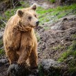 Brown Bear — Stock Photo #49976287