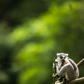 Lemur kata (Lemur catta) — Stock Photo