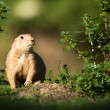 Very cute black tailed prairie dog — Stock Photo #49987943
