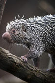Close-up of a cute Brazilian Porcupine — Stock Photo