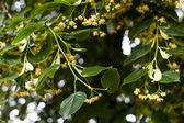 Blooming linden, lime tree in bloom — Stock Photo