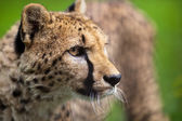 Cheetah (Acinonyx jubatus) — Stock Photo