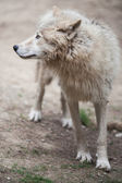 Arctic Wolf, Polar Wolf or White Wolf — Stock Photo