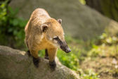 White-nosed Coati (Nasua narica) aka Pizote or Antoon. Diurnal, — Stock Photo