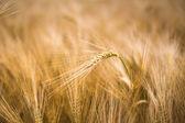 Ripe barley — Stock Photo