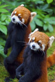 Little red panda, endangered species — Stock Photo
