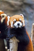 Little red panda looking — Stock Photo