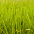 Rice plant in rice field, Hong Kong. — Stock Photo #13768727