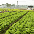 Farmland with many vegetables — Stock Photo