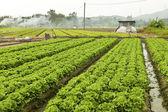 多くの野菜と農地 — ストック写真