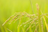 Close up of green paddy rice — Stock Photo