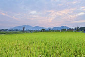 Sunset over the rice field — Stock Photo