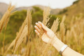 Female hand in the wheat field — Stockfoto