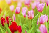 Rosa och Röda tulpaner blossom i vårsäsongen — Stockfoto