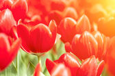 Red tulips under sunlight in spring — Stock Photo