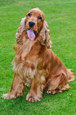Cocker spaniel dog portrait — Stock Photo