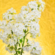 Syringa vulgaris, white Lilac — Stock Photo