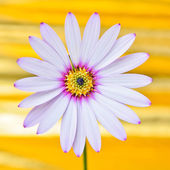 Osteospermum daisy flower — Stock Photo