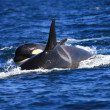 Постер, плакат: Killer whale female and a calf