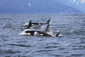 Orcas in the wild — Stock Photo