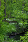 Small forest river crossing alder forest — Stock Photo