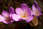 Autumn Crocus(Colchicum autumnale) closeup — Stock Photo