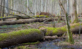 Dead ash tree trunks lying in spring — Stock Photo