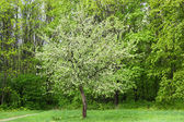 Blossoming apple-tree in park — Stock Photo
