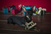 Dog as a gift on new year and Christmas — Stock Photo