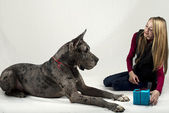 Girl gives to the Great Dane a gift on a holiday of new year — Stock Photo