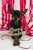 Dog as a gift on new year and Christmas — Stockfoto