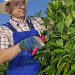 Pruning, man with gardening — Stock Photo #20429113