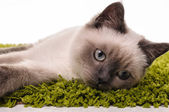 Portrait of British Shorthair cat — Stock Photo