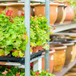 Potted flowers on shelves in garden shop — Stock Photo #12060421