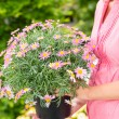 Woman hold potted daisy flower garden centre — Stock Photo #12060137