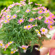 Purple daisy flower in pot — Foto de Stock