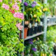 Potted flowers on shelves in garden shop - Foto Stock