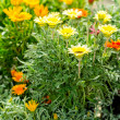 Marigold yellow and orange flowers garden center — Stock Photo