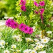 Spring flowers white and purple daisy gardening — Stock Photo #12060465