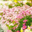 Spring flowers in garden center greenhouse — Stock Photo #12060469
