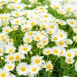 Daisy white flower bouquet — Stock Photo