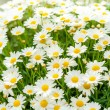 Daisy flower garden shop retail store — Stock Photo #12060488