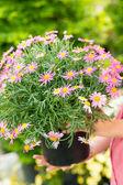 Purple daisy flower in pot — Stock Photo