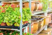 Potted flowers on shelves in garden shop — Stock Photo
